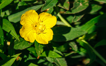 yellow buttercup flower head in the garden on sunny summer day