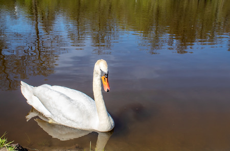 beautiful white swan swimming in a pond on sunny summer day