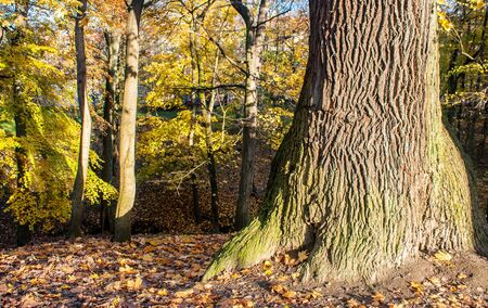 big old tree in the forest on the bright sunny autumn day