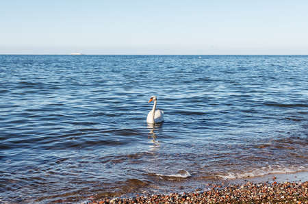 beautiful lonely white swan floating near the seashore on sunny summer day