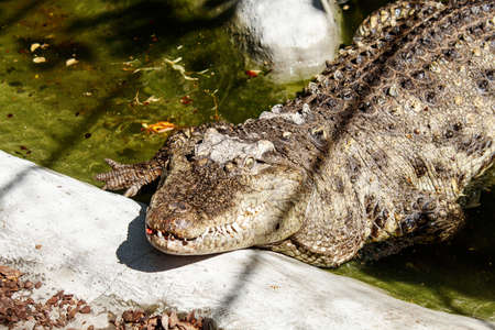 big crocodile at the city zoo on sunny summer day. outdoor closeup