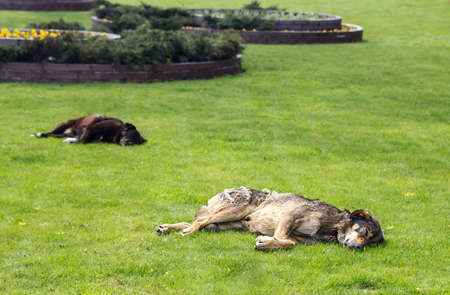 two stray dogs lie on the city lawn on spring day Standard-Bild