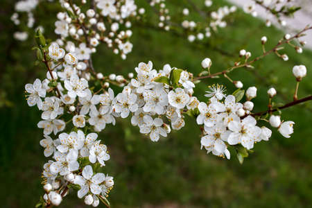cherry blossoms on a branch. outdoor closeup. spring day