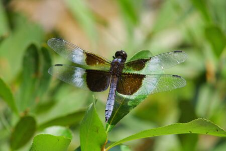 anisoptera: Purple dragonfly resting on leaf