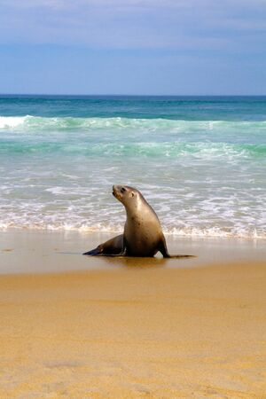 Seal on spectacular ocean beach of Pacific ocean Stock Photo