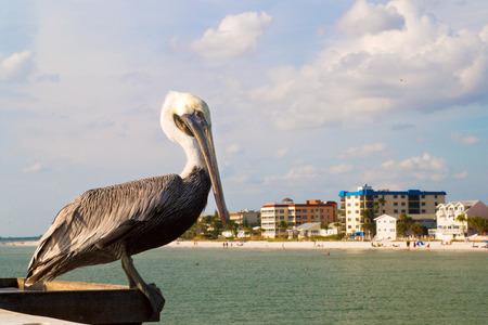 Florida Pelikan beobachten für Fische am mexikanischen Golf mit Blick auf den Sandstrand der Stadt von Fort Myers Beach