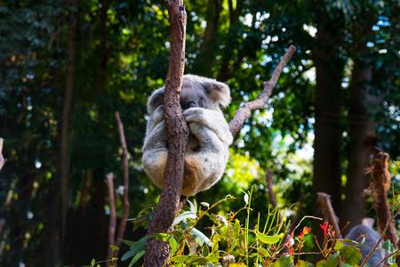 Cute Koala bear on the tree limbs, grey fur koala is relaxing on the limp, Native Australian Animal Stock Photo