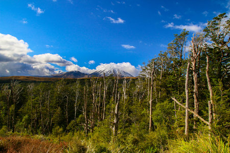 Wild forest and bushes of Central Plateau's Tongariro National Park in New Zealand, green trees and plants growing on the volcanic terrain, volcanos and Mount Ngauruhoe with snowy peak in the back