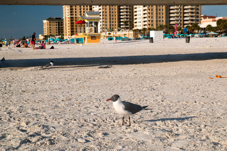 Typical American seagull on the sandy beach view with resorts and hotels on the back, Clearwater Beach Florida, USA