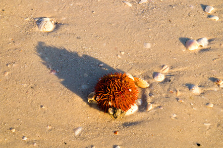 Live red sea urchin with sharp spines close up on sandy beach surrounded by seashells washed up on beach on low tide