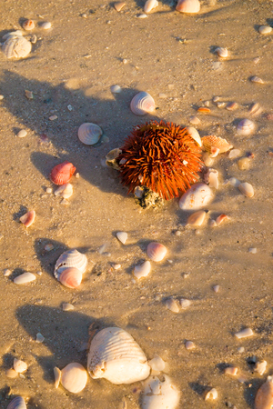 Live sea urchin with red sharp spines and variety of shells on the beach sand, marine life and empty seashells washed up on beach on low tide