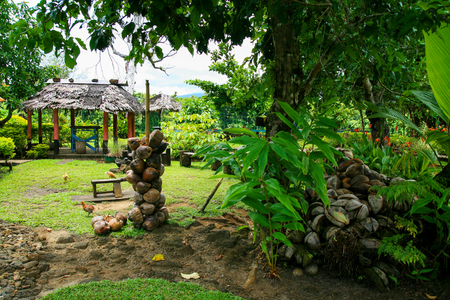 Wild tropical garden in Oceania with coconut shells, green exotic vegetation and fales, Samoan shellter architecture