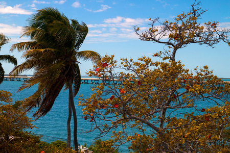 Palm trees and sea grape trees in autumn, the turquoise sea water and The Seven Mile Bridge on the background, The Bahia Honda State Park, Florida Keys, Monroe County, USA