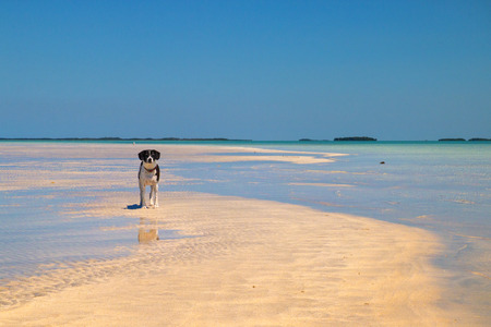 Cute black white dog on tropical sandy beach, sandbar island wildlife refugee which appear during low tide at Florida Keys, Key West