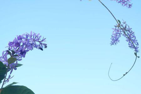 petrea: Petrea volubilis Purple