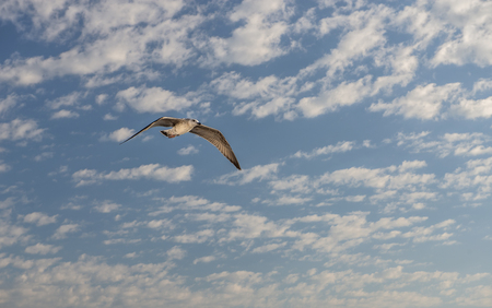 sea gull bird flying view from below, on clear blue sky Фото со стока
