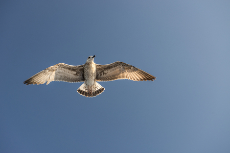 sea gull bird flying view from below, on clear blue sky 스톡 콘텐츠