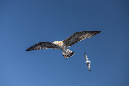 sea gull bird flying view from below, on clear blue sky Stock Photo