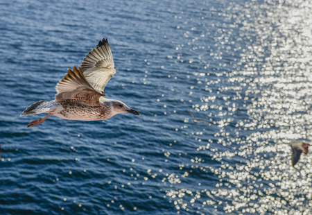 sea gull bird flying side close-up view in the ocean Stock Photo