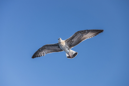 sea gull bird flying view from below, on clear blue sky Banque d'images