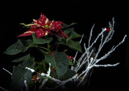 Christmas star flower isolated on black background Stock Photo