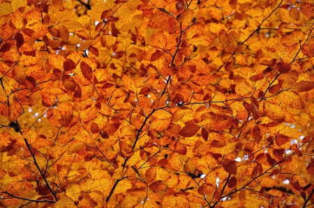 Autumnal colored leaves, maple leaf litter photo