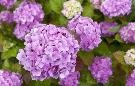 asterids: Common names Hydrangea hydrangea or hortensia