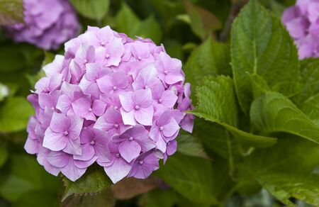 eudicots: Common names Hydrangea hydrangea or hortensia