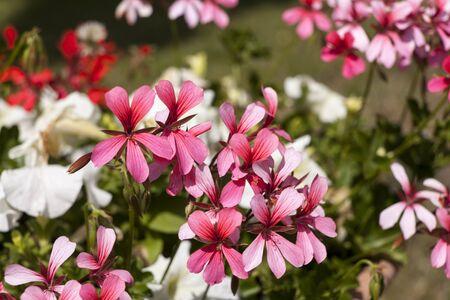 rosids: Pelargonium, geraniums