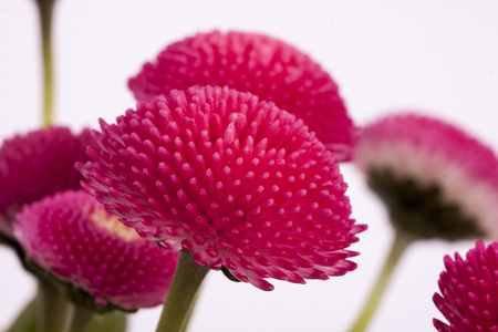 eudicots: Bellis perennis is a common European species of daisy, of the Asteraceae family