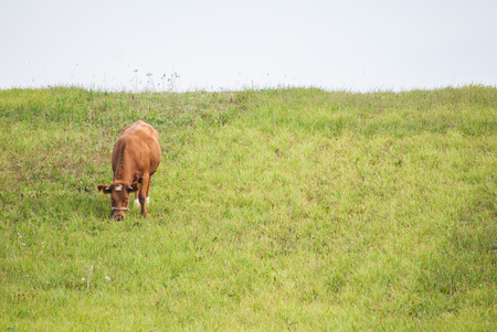 Cow standing on grass Stock Photo
