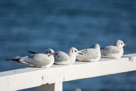 Seagull sitting on a wooden pier handrail Stock Photo