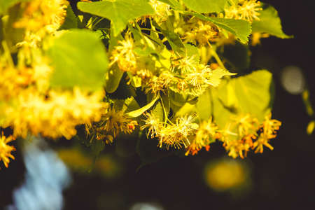 Flowering linden tree with beautiful yellow flowers. Medicinal plant Stock Photo