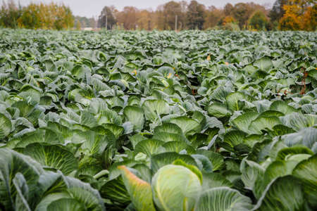 Landscape view of a freshly growing beautiful cabbage field, selective focus