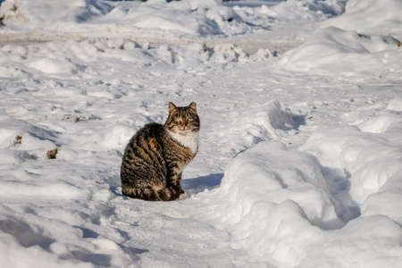 Beautiful cat sitting in the snow in sunny winter day Standard-Bild - 163317650