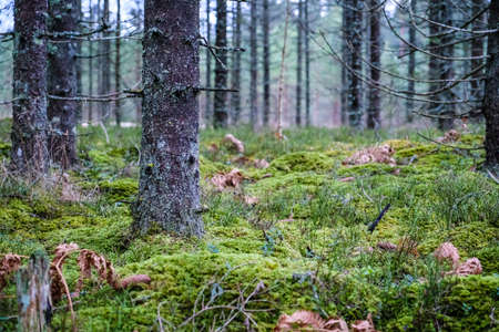 Autumnal new spruce forest with moss and some leaves on the ground. Forest management Standard-Bild - 163630689