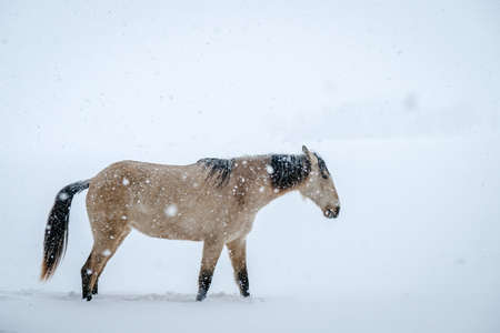 Horse in snow blizzard in the field at the time of the cold winter Standard-Bild - 163805846