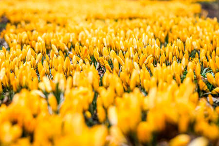 The first beautiful yellow crocuses blooming in the spring garden, in park in sunset. Defocused