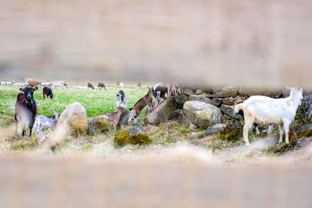 Herd of goats in the grassland. Goats eating grass and climbing rocks on a pasture in farm. Goat kids, yeanlings. Selective focus