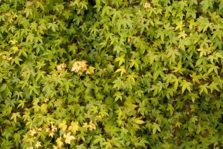Kleine Grüne Acer Leaf Background