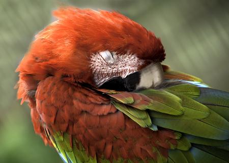 Nahaufnahme von Ara Papagei thront schlafen Standard-Bild