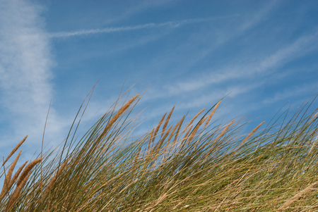 seascape image of grass reeds growing on sand dunes, shot against the sky Standard-Bild