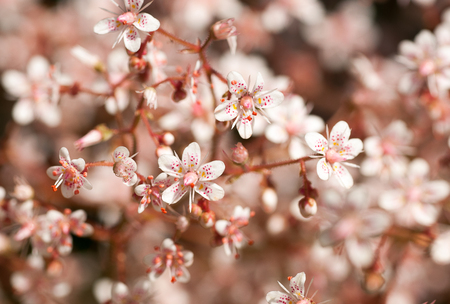 defocused full frame image of delicate pink sedum flowers Standard-Bild