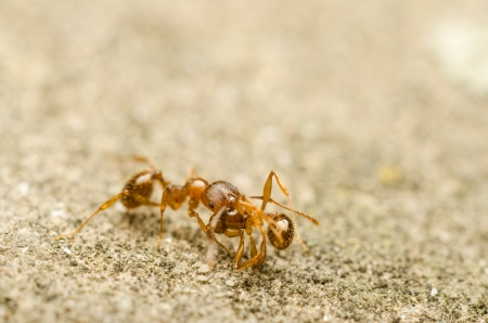 Red Ant Carrying Home A Deceased Soldier Stock Photo - 17871115