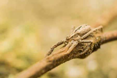 nursery web spider: Extreme Macro Photo Of A Nursery Web Spider In Attacking Position Stock Photo