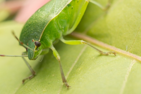 Macro Photo Of A Green Shield Bug photo