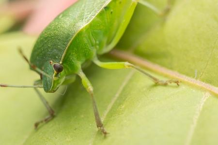 green shield bug: Macro Photo Of A Green Shield Bug Stock Photo