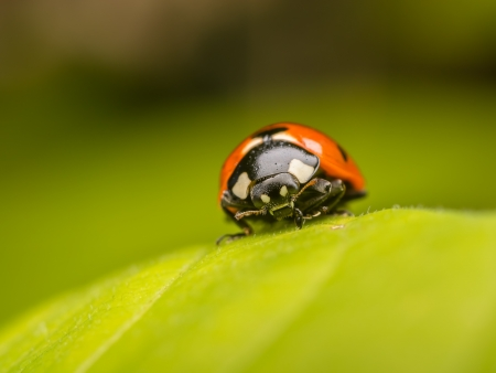 Macro Photo Of A Ladybug On A Leaf photo