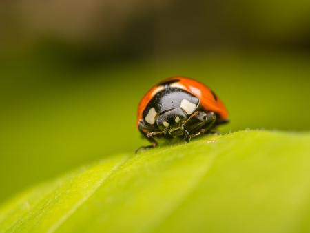 coccinellidae: Macro Photo Of A Ladybug On A Leaf