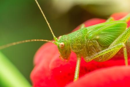 Macro Photo Of A Green Cricket Tettigonia viridissima Sitting In A Rose Stock Photo